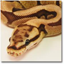 Ask a Python Breeder anything   Jobstr